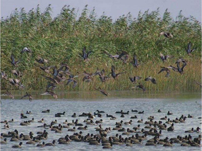 علت مرگ دسته جمعی پرندگان مهاجر در مازندران ، شیوع 3 نوع آنفولانزا